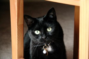 Comfortis for Use in Cats: Is it Safe and Effective?