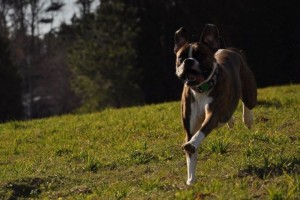 Exercise for dogs with arthritis