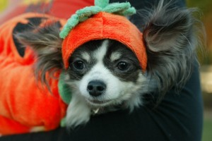 Halloween costume safety checklist for pets