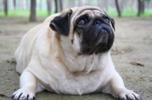Preventing obesity in your dog or cat