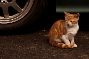 Tap the hood, save a cat's life