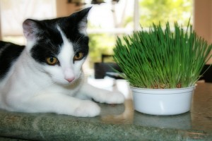 What is cat grass?