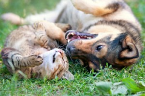 How do dogs and cats get fleas?