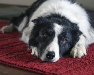 How does arthritis affect pets?