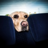 Some dogs become anxious during car rides