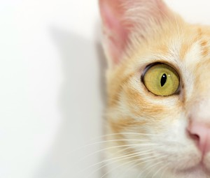 Domestic cat DNA has finally been fully sequenced