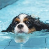"Water loving dogs may be more prone to ear infections or ""swimmer's ear"""