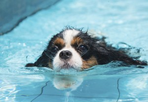 Chronic ear infections in water-loving dogs