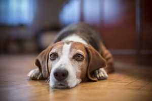 Learn what to do if your pet has a reaction to flea medications