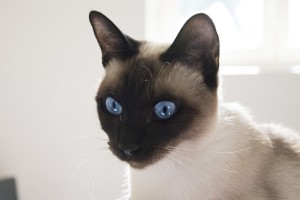 Certain breeds, such as the Siamese, may be more genetically predisposed to asthma