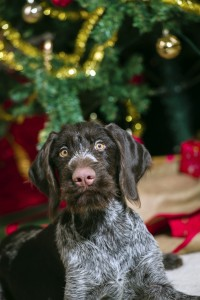 Digestive upset is common in pets around the holidays